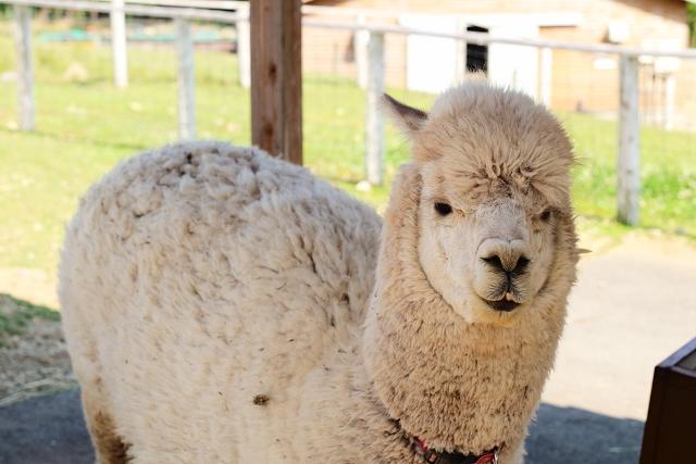 那須動物王國和那須Alpaca牧場親親小動物